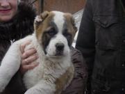 Продам щенков среднеазиатской овчарки (алабай,  туркменский волкодав)