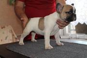 щенок французского бульдога бело-палевый мальчик