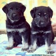 Породные щенки восточноевропейской овчарки!