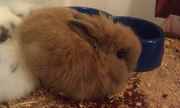 Декоративный Ангорский кролик,  1 мес.
