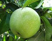 Продам яблоки Симиренко