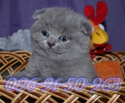 Продаются красивейшие шотландские котята хорошего породного уровня.